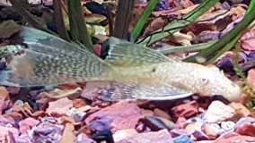 "Brown Spotted and Albino Long Fin Bristlenose Pleco 1.5-2"" Freshwater fish in Hinesville, Georgia"