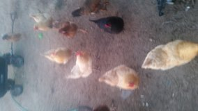 Laying hens and a couple of roosters in Hinesville, Georgia