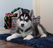 Siberian Husky puppies with blue eyes for adoption homes in Brockton, Massachusetts