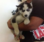 Siberian Husky puppies needing new lovely homes in New Orleans, Louisiana