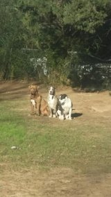 3 pit puppies in Fort Carson, Colorado