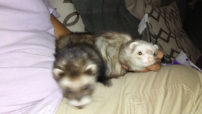 Two Ferrets For Sale in Fort Carson, Colorado