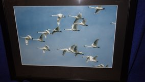 Tundra Swans in Flight Photograph 16x20 Framed. $40 in Cherry Point, North Carolina