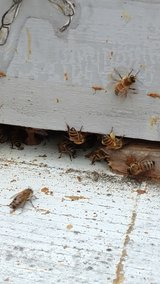 Bees removed in Perry, Georgia