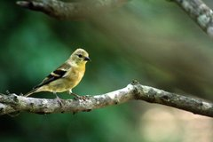 "Goldfinch on a Branch 8.5"" x 11"" Print $10 in Cherry Point, North Carolina"