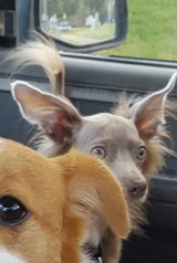 Male and female long-haired chihuahuas. in Manhattan, Kansas