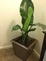 Large indoor potted plant in 29 Palms, California