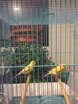 Male and female Canary in Bartlett, Illinois