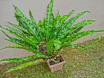 #2 - Big Bird Nest Fern w/pot (Asplenium nidus) in Okinawa, Japan
