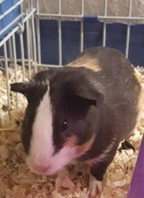 Guinea pigs in Oceanside, California
