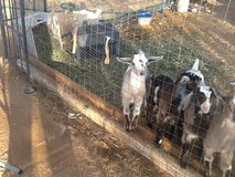 Heckle and Jeckle up for Adoption in Yucca Valley, California