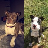 LOST!  Two Pit Bull Mix.  Missing since Wednesday, Feb 9th in Alamogordo, New Mexico