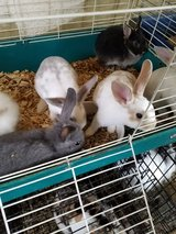 MINI REX, OTTERS, NEATHERLAND DWARF BUNNIES in Lawton, Oklahoma