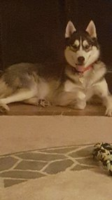 AKC registered Siberian Huskies in Lackland AFB, Texas