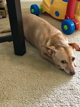 Re-homing Chiweenie in Travis AFB, California