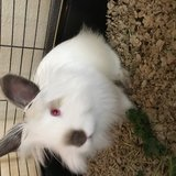 Lionhead Bunny in Travis AFB, California