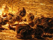 x50 JUMBO-1 Day Old James Marie Pharaoh Quail in Perry, Georgia