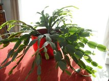 Christmas cactus plant in Ramstein, Germany