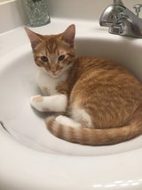 Adorable loving 8month old kitten, free to good home. He loves attention and adores cuddling. in Camp Pendleton, California