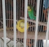 Parakeets  for in Fairfield, California