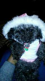 Lost small poodle Maltese mix 5 pounds 13 years old in Camp Lejeune, North Carolina