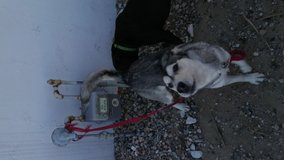 Lost female husky in 29 Palms, California