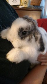Holland lop Rabbit BKN Siamese Sable in Beaufort, South Carolina