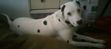 11 mo. Old Rio the Dalmatian needs Gr8&Loving Home in Brockton, Massachusetts