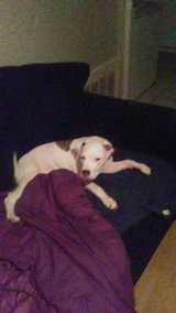 6 month old femaleb pitbull puppy in Lawton, Oklahoma