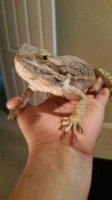 Bearded dragon in Travis AFB, California