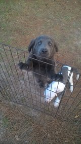 Puppy German Shepard/Black Lab Mix. Reduced $50 to a good home. in Leesville, Louisiana