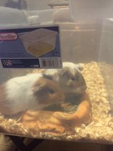 2 YOUNGER CUTE CUTE GUINEA PIGS in Alamogordo, New Mexico