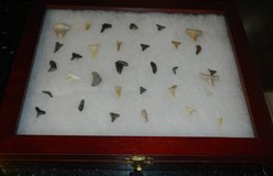 Shark Tooth Collection In Shadow Box Frame Case 32 Teeth in Houston, Texas