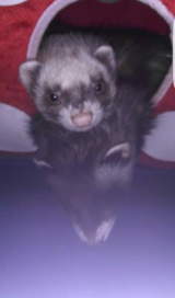 Ferrets in bookoo, US