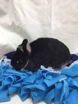 Netherland Dwarf Bunny in Chicago, Illinois