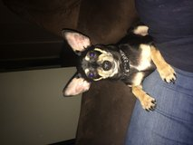 6 month male chihuahua/papers in Murfreesboro, Tennessee