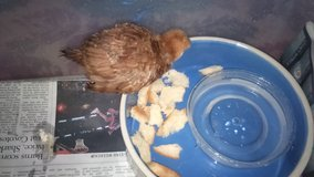 Baby chick in Fairfield, California