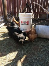 Free Laying hens and rooster in Yucca Valley, California