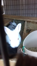 small and adult rabbits in Lawton, Oklahoma
