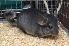 4 Month Old Standard Grey Male Chinchilla Kit (baby) -- super cute! in Chicago, Illinois
