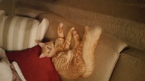 Orange Tabby cat in Fort Bragg, North Carolina