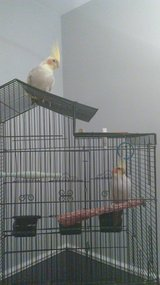 Beautiful young boy and girl cockatiels in Naperville, Illinois