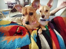 Two chiweenies for rehome in Silverdale, Washington