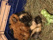 Baby Guinea Pigs! in Ramstein, Germany