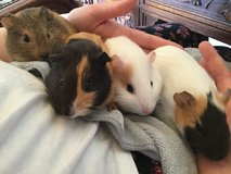 Guinea Pig Litter! Babies for sale. in Ramstein, Germany