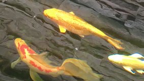 "Ginrin GOLDEN koi, super brilliant and shiny 10+"" in Okinawa, Japan"