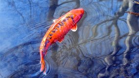 KOI fish in bookoo, US