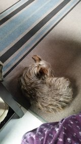 Found female Terrier in Yucca Valley, California