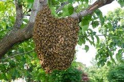 It's swarm time for Honey Bees in Camp Lejeune, North Carolina