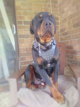 Stud Dog Leather Harness in Hinesville, Georgia